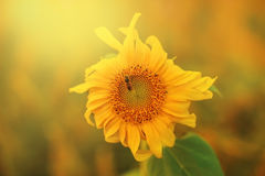 Макрос снял пчелы меда сидя на солнцецвете в саде внутри Стоковое Фото
