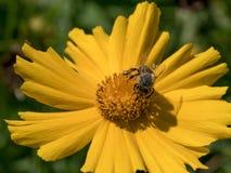 Макрос снял пчелы сидя на желтом цветке маргаритки Стоковые Фотографии RF