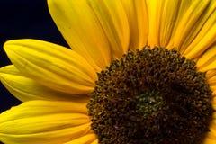Макрос солнцецвета Стоковые Изображения