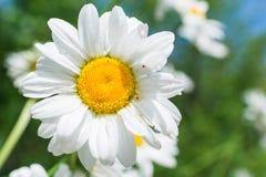 Макрос стоцвета Стоковая Фотография RF