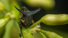 Макрос странного treehopper малая черепашка в природе Стоковые Изображения