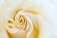 Макрос сливк розовый Поздравительная открытка, приветствие, Стоковая Фотография