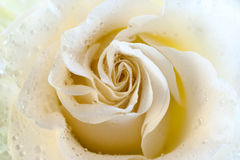 Макрос сливк розовый Поздравительная открытка, приветствие, Стоковые Фото
