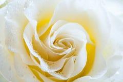 Макрос сливк розовый Поздравительная открытка, приветствие, Стоковые Изображения