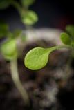 Макрос фокуса крошечного растущего завода отмелого Стоковая Фотография RF