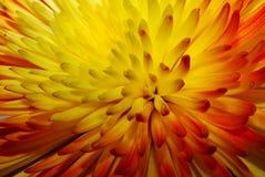 макрос хризантемы Стоковое Изображение