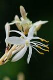 Макрос цветения завода паука Стоковые Изображения RF