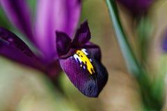 Макрос цветеня бородатой радужки фиолетовый Стоковое Изображение RF