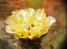 Макрос цветка кактуса шиповатой груши в цветени Стоковые Изображения RF