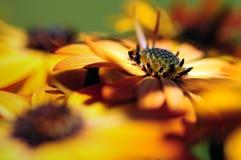 Макрос цветка маргаритки Стоковое фото RF