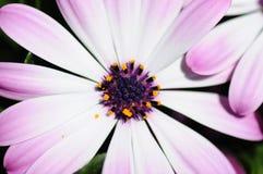 Макрос цветка маргаритки Стоковые Изображения RF