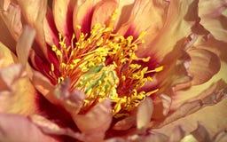Макрос цветка пиона абрикоса Стоковые Изображения RF