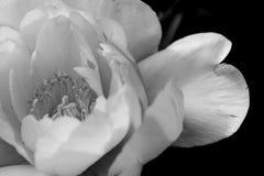 Макрос цветка пиона в черной & белом Стоковое Изображение RF