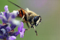 макрос цветка пчелы голубой Стоковая Фотография RF