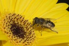 макрос цветка пчелы Стоковые Фото