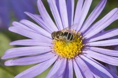 макрос цветка пчелы Стоковое Изображение RF