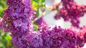 Макрос цветка сирени Стоковая Фотография