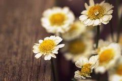 макрос цветка стоцвета Стоковая Фотография