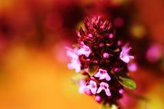 Макрос цветка тимиана розовый на предпосылке цвета Стоковые Фото