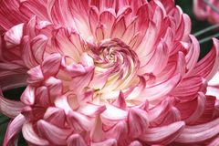 Макрос цветка хризантемы Стоковые Фотографии RF