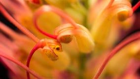 Макрос цветка шелковистого дуба Стоковые Фото