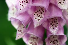 Макрос цветка Foxglove Стоковое Изображение RF