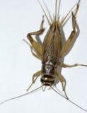 Макрос цикады Стоковые Изображения