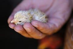 Макрос цыпленока на птице в Кипре Стоковое Фото