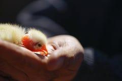 Макрос цыпленока на птице в Кипре Стоковая Фотография