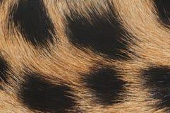 макрос шерсти гепарда Стоковые Фотографии RF