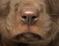 Макрос щенка Retriever Лабрадора Стоковые Изображения RF