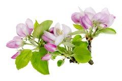 макрос яблока изолированный цветками pink вал Стоковые Фотографии RF