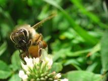 макрос 2 пчел супер Стоковое Фото