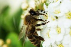 Макрос Apis пчелы меда подавая на белом цветке Стоковые Фотографии RF