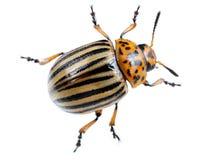 макрос colorado жука над белизной картошки Стоковая Фотография
