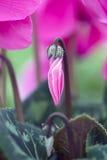 Макрос Cyclamen Стоковое Изображение