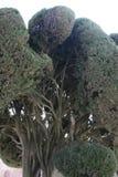 Макрос Cypress, sempervirens кипариса стоковая фотография rf