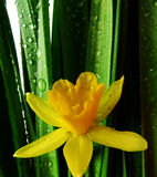 макрос daffodil изолированный падениями идет дождь белизна Стоковое Изображение