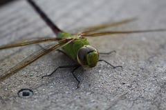 Макрос Dragonfly все еще отображает крупный план Стоковое фото RF