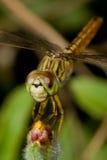 Макрос Dragonfly Стоковое Изображение