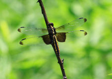 Макрос Dragonfly Стоковое Изображение RF