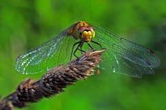 Макрос Dragonfly Стоковые Фотографии RF