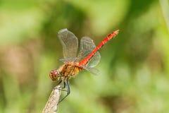 Макрос Dragonfly Стоковая Фотография RF