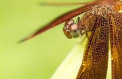 Макрос dragonflys головы, взгляда со стороны Стоковое Изображение RF