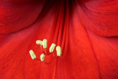 макрос hippeastrum цветка амарулиса Стоковое Изображение RF