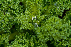 макрос kale Стоковые Фото