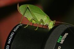 макрос katydid стоковые изображения
