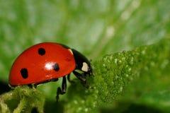 Макрос ladybird на лист стоковые фотографии rf