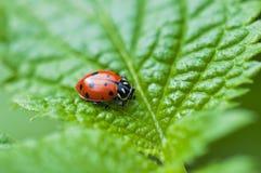 Макрос Ladybug на зеленых лист Стоковые Фотографии RF