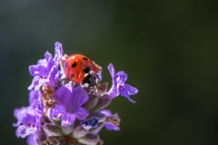 Макрос ladybug 7 пятен Стоковое Изображение